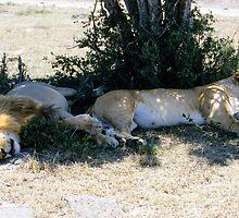Lazy lions by David Clarke
