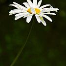 The Beauty of Daisy by Svetlana Sewell