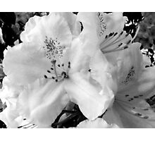 Pink Abundance in B-W Photographic Print