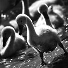 Cygnet out of water by Janieb