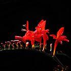 crocosmia (lucifer) by john Bellew