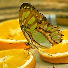 Green Butterfly on Oranges by kellimays