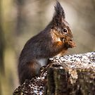 Fluffy the squirell by David Freeman