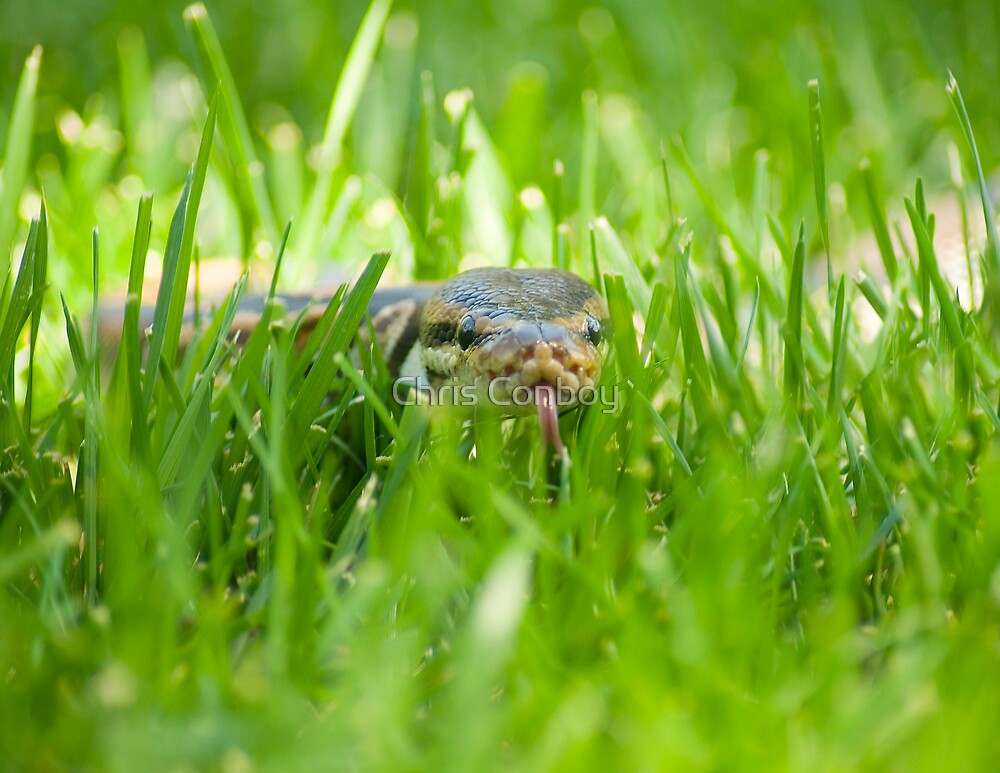 Snake In The Grass by Chris Conboy
