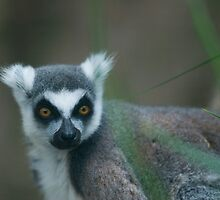Ring-tailed Lemur by Chris Conboy