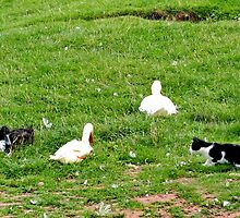Cat, Rabbit, Duck & Geese by AnnDixon