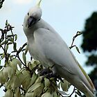 White cockatoo by Anita52