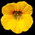 Yellow Nasturtium by Forfarlass