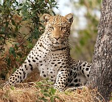 Male Leopard - Okavango Delta, Botswana by Sharon Bishop