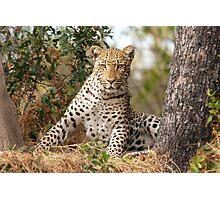 Male Leopard - Okavango Delta, Botswana Photographic Print