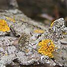 Curled Lichen by Rachel Hoffman