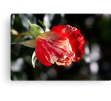Just Before Winter Rose Canvas Print
