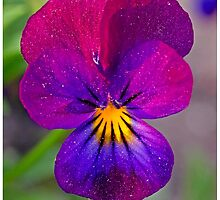 Pansy flower by Smaragdas