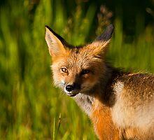 A Bonus Fox by Jay Ryser