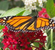Monarch Landing by Bob Hardy