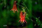Southwestern Red Colimbine by Vicki Pelham