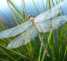 Freshly emerged dragonfly by NaturalCultural