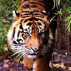 Tiger Eyes by Melanie Roberts