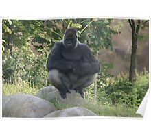 A gorilla named Bokito!! He was in the news!! Poster