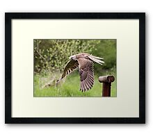 Saba, Saker Falcon Framed Print