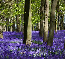 Bluebell Woods by paulgranahan