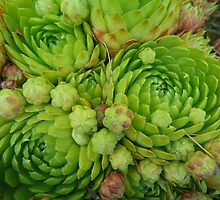 Hen And Chicks..circles by MaeBelle
