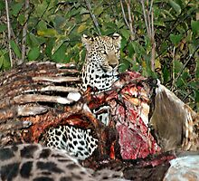 Leopard  in a carcass - Botswana by Marieseyes
