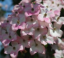 Delightfully Pink Dogwood by Carol Clifford
