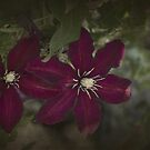Red Clematis by Elaine Teague