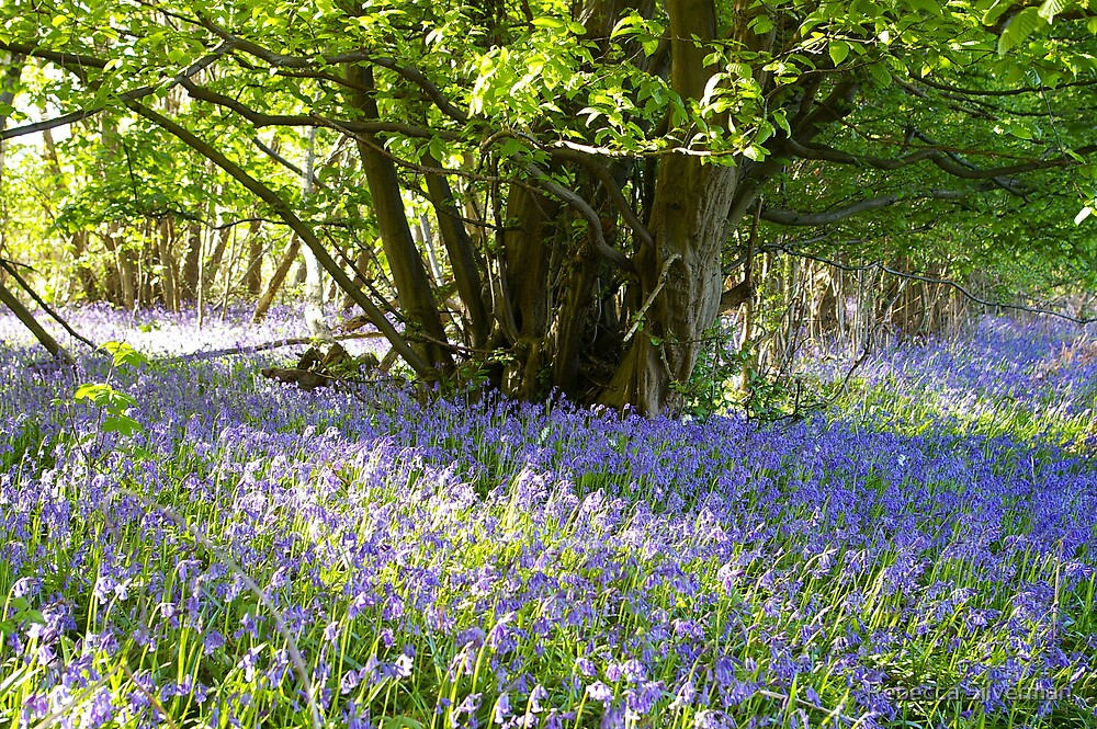 Bluebell Woods II by Rebecca Silverman