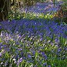 Bluebell Woods III by Rebecca Silverman