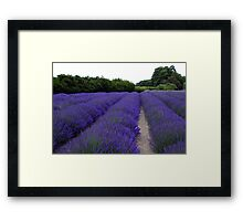 Lavender Fields Forever ~ Sequim, Washington Framed Print