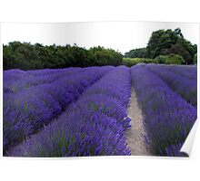 Lavender Fields Forever ~ Sequim, Washington Poster