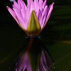 Pink/Purple Water Lilly by TomWagner