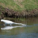 Egret Fully Extended by meinvb