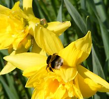 A Bumble Bee on a Daffodil by Ryan Mackay