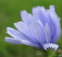 Chicory, softly... by Janine Benedict