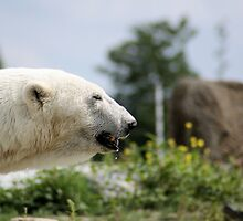 polarbear with waterdrop by theheijt