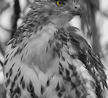Red Tail Hawk  by TomWagner