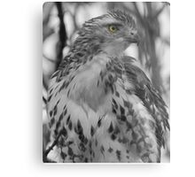 Red Tail Hawk  Metal Print