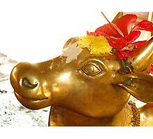 Brass Cow Photographic Print