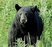 Black Bear Intimidation by Vickie Emms