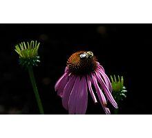Coneflower (Echinacea purpurea) Photographic Print