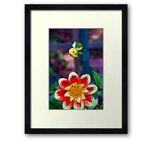 Dahlia with a hitchhiker Framed Print