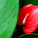 Anthurium by Perspective