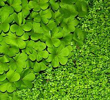 Green Clover by A Leung