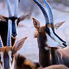 SABLE - Hippotragus niger by Magaret Meintjes