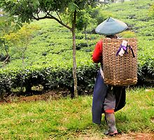 Lady Worker In Tea Plantation by Charuhas  Images