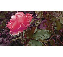 Stop and smell the roses Photographic Print