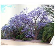 Jacaranda Mimosifolia Poster